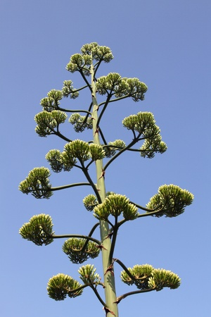details of a Agave americana photo