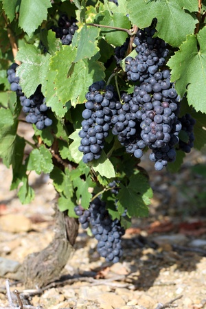 details of a vineyard from France Stock Photo