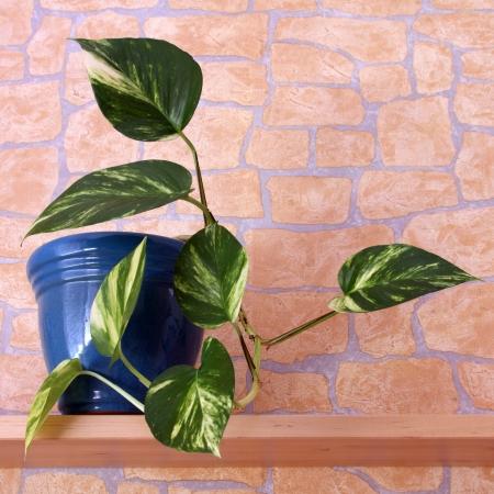 Detalles de una planta de interior: Epipremnum aureum