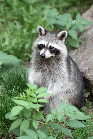 details of  raccoon sitting on grass Stock Photo