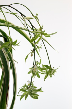 details of a chlorophytum comosum isolated on white Stock Photo