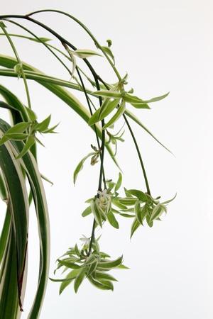 Detalles de un comosum chlorophytum aislados en blanco Foto de archivo