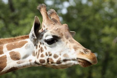 detalles de una jirafa en el zool�gico