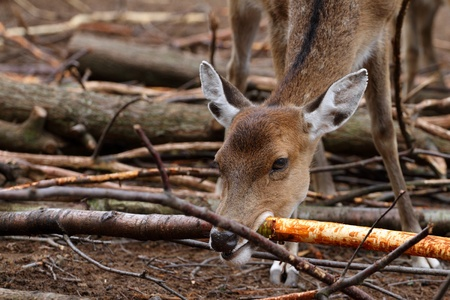 details of a Sika Deer photo