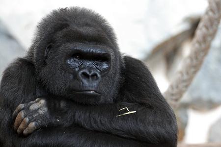 details of a beautiful gorilla
