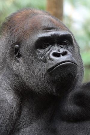 details of a beautiful gorilla Stock Photo