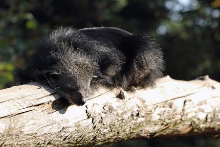 bearcat: details of a binturong