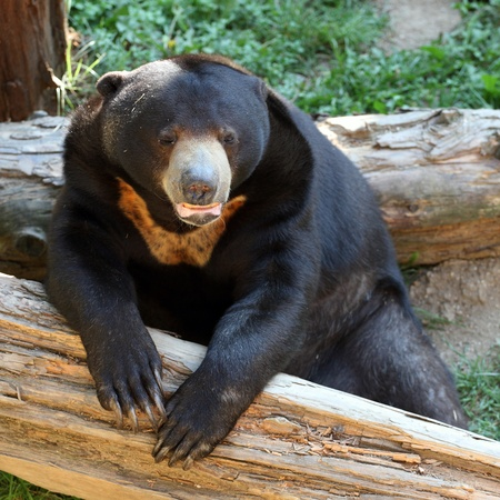 details of a sun bear in zoo Stock Photo