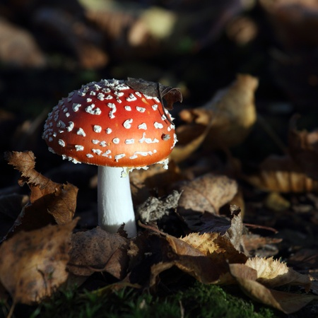 details of a fly agaric photo