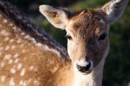 fallow deer: deatails of a fallow deer