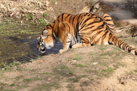 details of a drinking tiger, panthera tigris, in captivity photo