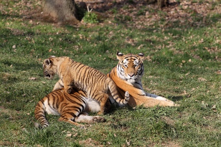 details of a tigress with her cub in captivity