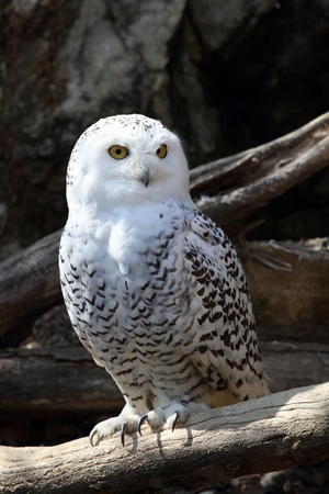details of a snowy owl percher on a branch