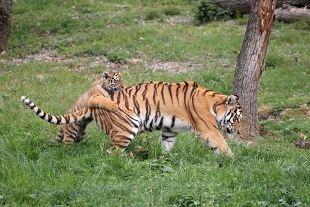 tigresa: detalles de una tigresa con su cachorro Foto de archivo