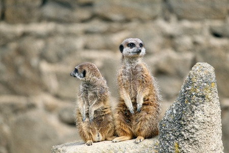 details of  meerkats stand sentry in captivity Stock Photo - 13127942