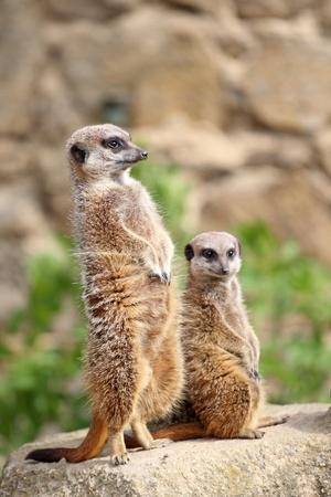 suricata suricatta: details of  meerkats stand sentry in captivity