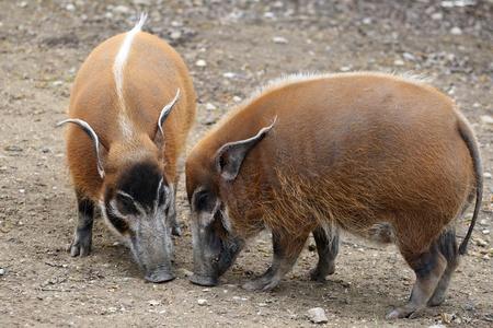 bush hog: details of red river hog in captivity Stock Photo