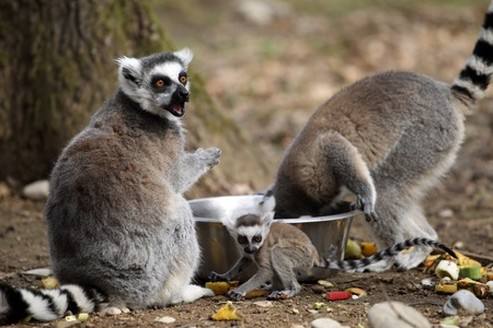 details of a ring-tailed lemur with a cub