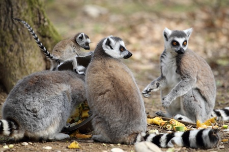 details of a ring-tailed lemur with a cub photo