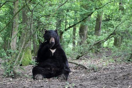 oso negro: detalles de un oso negro americano sentados en el bosque