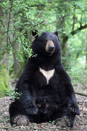 details of a american black bear sitting in forest Stock Photo