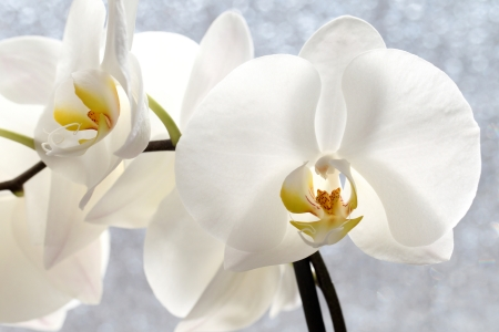 details of a Phalaenopsis blossom, before a window built with a special glass opaque photo