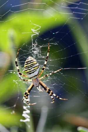argiope: details of an Argiope in a spider web Stock Photo