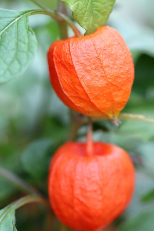 cape gooseberry: details of some ground cherries or physalis in nature. Stock Photo