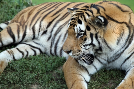 panthera tigris: details of a tiger, panthera tigris, in captivity