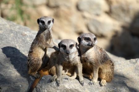 suricatta: details of  meerkats stand sentry in captivity
