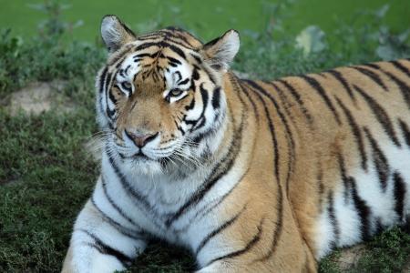 panthera tigris: details of a tiger, panthera tigris, in captivity. Stock Photo