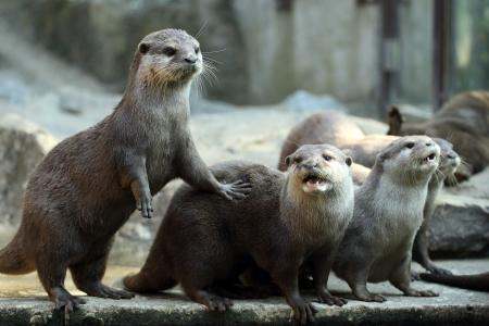 semi aquatic: details of european otters in captivity