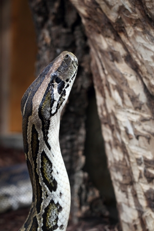 vivarium: details of an Indian python or Python molurus