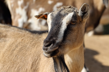 pygmy goat: details of domestic pygmy goat in farm
