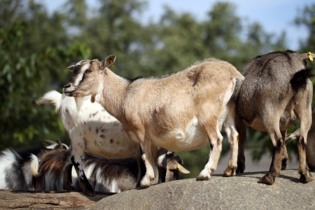 pygmy goat: details of domestic pygmy goat