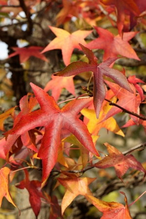 Details of autumn foliage of Liquidambar styraciflua Stock Photo