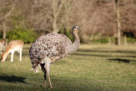 Details of emu in grassland, in captivity Stock Photo - 16973493