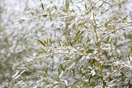 Details of bamboo leaves in winter with snow
