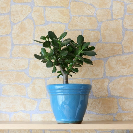 potted plant: Details of a crassula ovata or jade plant in flowerpot