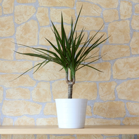 Details of a dracaena marginata in flowerpot Stock Photo
