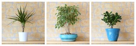 Los detalles de tres plantas en macetas, dracaena marginata, ficus benjamina, Crassula ovata
