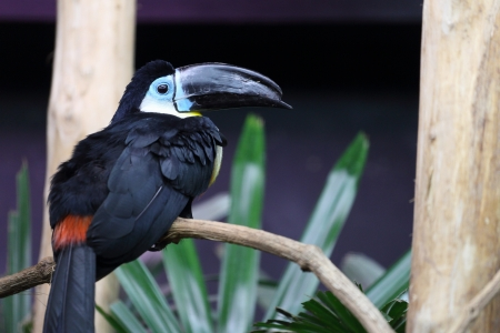 Details of a channel billed toucan in captivity photo