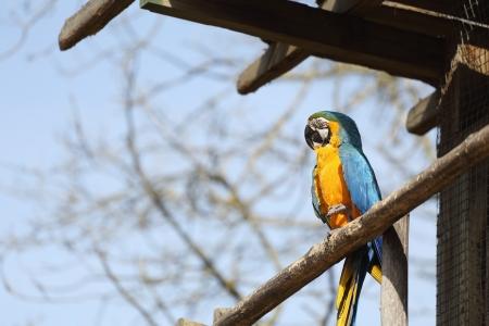 ararauna: Detalles de un ara ararauna en una rama