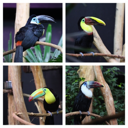 Details of toucan in captivity, white throated Toucan,  rainbow billed toucan, swainsons toucan, channel billed toucan in captivity photo