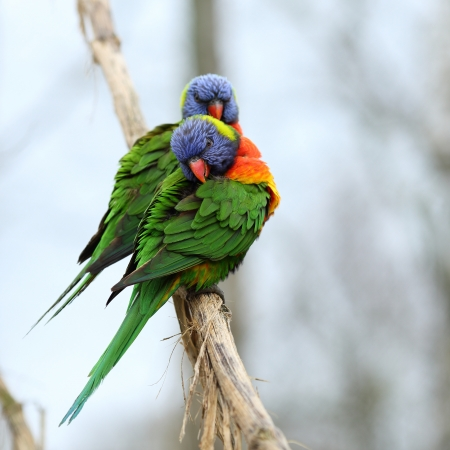 Details of rainbow lorikeet, trichoglossus haematodus, perching on a branch.