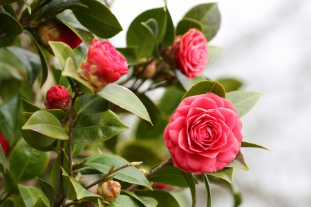 Details of a blossoming camellia branch in spring. Stock Photo