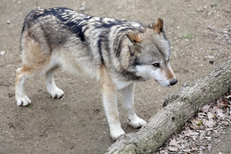gray wolf: Details of a gray wolf in captivity Stock Photo