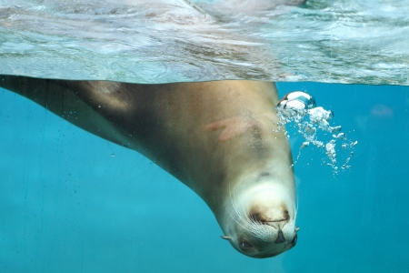 Details of a california sea lion swimming in captivity behind glass of aquarium. Stock Photo