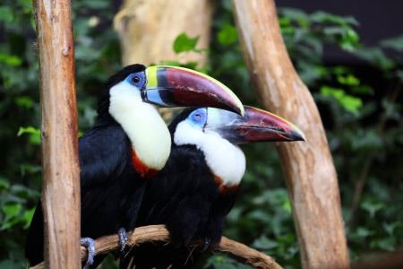 Details of a couple of White throated Toucan in captivity. photo