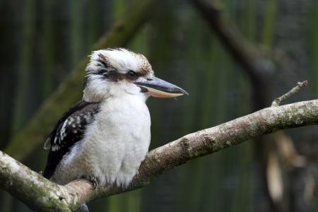 captivity: Details of a laughing kookaburra  in captivity.
